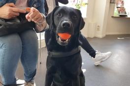 Labrador Diezel was te dik, maar zit door streng regime nu bijna op zijn streefgewicht