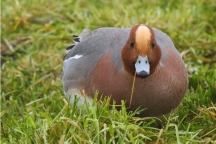 Lezing IVN Grave: Nederland trekvogelland?